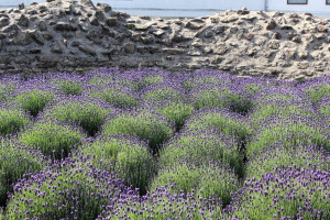 Pretty purple flowers inside the Roman wall.